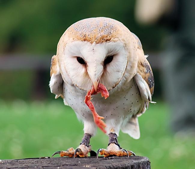 Animal 07 - Owl Eating.jpg